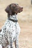 Deutscher Hund der kurzhaarigen Nadelanzeige, der auf dem Gebiet sitzt Stockfoto