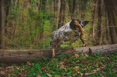 Deutscher Jagdhund, der über einen Baum in der bunten Frühlingslandschaft springt lizenzfreie stockfotografie