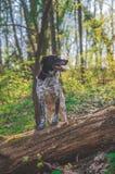 Deutscher Jagdhund, der in der bunten Frühlingslandschaft aufwirft stockfotos