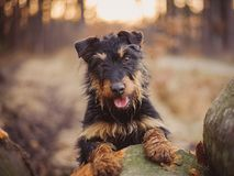Jagdterrier Royalty Free Stock Image