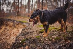 Jagdterrier Royalty Free Stock Photo