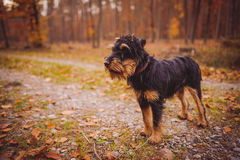 Deutscher Jagdterrier. German hunting terrier in the fall forest Royalty Free Stock Images