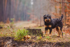 Deutscher Jagdterrier. German hunting terrier in the fall forest Stock Images
