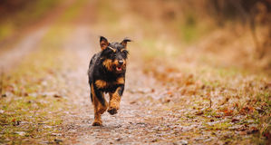 Deutscher Jagdterrier. German hunting terrier in the fall forest royalty free stock photography