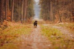 Deutscher Jagdterrier. German hunting terrier in the fall forest Stock Image