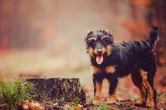 Deutscher Jagdterrier. German hunting terrier in the fall forest Stock Photos