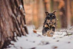 Deutscher Jagdterrier. German hunting terrier in the winter forest royalty free stock photos