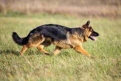 Deutscher langhaariger Schäferhund, der auf Grün läuft Stockfoto
