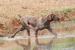 Deutscher Nadelanzeigehund des kurzen Haares Lizenzfreie Stockfotografie