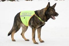 Deutscher Schäferhund von der Rettungsmannschaft Stockbild