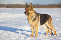 Deutscher Schäferhund Lizenzfreie Stockfotografie