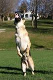 Deutscher Shepard, das für seinen Ball zeigt die Zähne vertikal springt Lizenzfreie Stockfotos