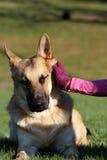 Deutscher Shepard, das hinter seinem Ohr verkratzt wird Stockfotografie