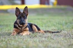 Deutscher shepard Hund Lizenzfreie Stockfotografie
