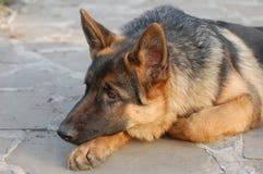Deutscher Shepard Hund Lizenzfreies Stockfoto