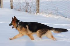 Deutscher Shepard Hund Lizenzfreie Stockbilder