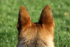 Deutscher Shepard-Rückseite von den Kopfohren horizontal Lizenzfreie Stockfotos