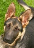 Deutscher shephard Hund Lizenzfreie Stockfotografie