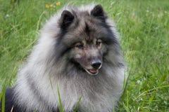 Deutscher wolfspitz close up. Keeshond or german spitz. Pet animals royalty free stock photography