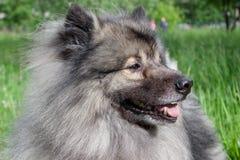 Deutscher wolfspitz close up. Keeshond or german spitz. Pet animals stock images