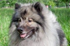 Deutscher wolfspitz close up. Keeshond or german spitz. Pet animals stock image
