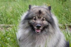 Deutscher wolfspitz is looking at the camera. Keeshond or german spitz. Pet animals stock photography