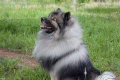 Deutscher wolfspitz is sitting on a green grass. Keeshond or german spitz. Pet animals stock photography