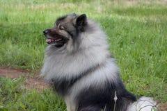Deutscher wolfspitz is sitting on a green grass. Keeshond or german spitz. Pet animals stock image
