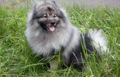 Deutscher wolfspitz is sitting in a green grass. Keeshond or german spitz. Pet animals royalty free stock photos