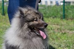 Deutscher wolfspitz is standing on a green meadow with his owner. Keeshond or german spitz. Pet animals royalty free stock photos