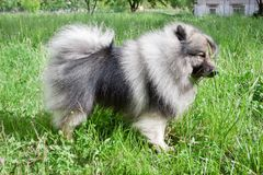 Deutscher wolfspitz is standing on a green meadow. Keeshond or german spitz. Pet animals royalty free stock photography