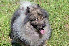 Deutscher wolfspitz is standing on a green meadow. Keeshond or german spitz. Pet animals royalty free stock photos