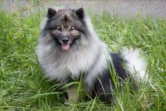 Deutscher wolfspitz is standing on a green meadow. Keeshond or german spitz. Pet animals royalty free stock photo