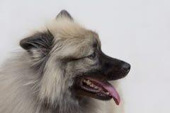Deutscher wolfspitz is standing with lolling tongue. Keeshond or german spitz. Pet animals. Purebred dog stock image