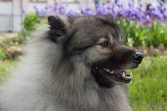 Deutscher wolfspitz is standing on a spring meadow. Keeshond or german spitz. Pet animals royalty free stock photos