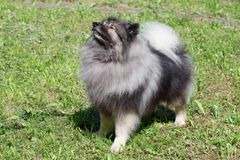 Deutscher wolfspitz is standing on a spring meadow. Keeshond or german spitz. Pet animals royalty free stock image