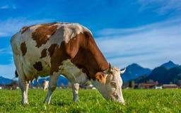 Deutsches Milchvieh auf dem Gebiet stockbild