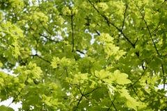 Deutschland, Bayern, Ebenhausen, Blätter Norwegen-Ahorns (Acer-platanoides), Nahaufnahme Lizenzfreie Stockfotos