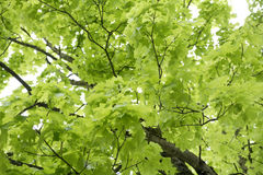 Deutschland, Bayern, Ebenhausen, Blätter Norwegen-Ahorns (Acer-platanoides), Nahaufnahme Stockfotos