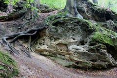 Deutschland, Sachsen: Ein Baum, der auf Steinen wächst stockfotografie