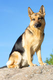 Deutschland-Schäferhund lizenzfreie stockfotos
