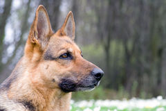 Deutschland-Schäferhundportrait stockbild