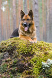 Deutschland-Schäferhund Stockfotografie