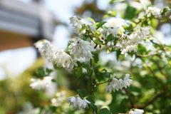 Deutzia crenata flowers. / Japanese snow flower / Slender deutzia royalty free stock image
