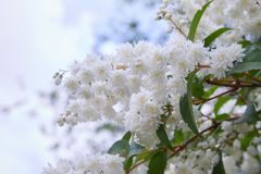 Fuzzy Deutzia, Deutzia scabra double flowered in bloom royalty free stock image
