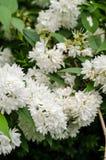 Deutzia flowers. Deutzia crenata 'Plena', a double-flowered cultivar royalty free stock photos
