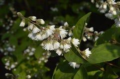Deutzia scabra. Deutzia rough, ornamental shrub with small white flowers, spring bush, excellent for hedges stock photography