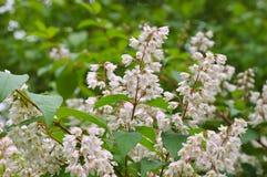 Deutziacrenata, vit buske arkivfoton