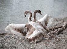 Deux à être un, danse de canards images libres de droits
