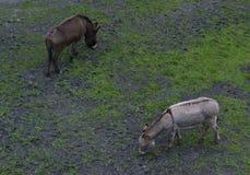 Deux ânes Photos libres de droits